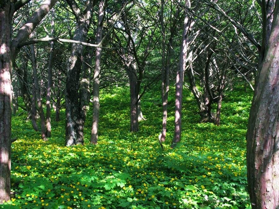 Красногорский тисовый лес