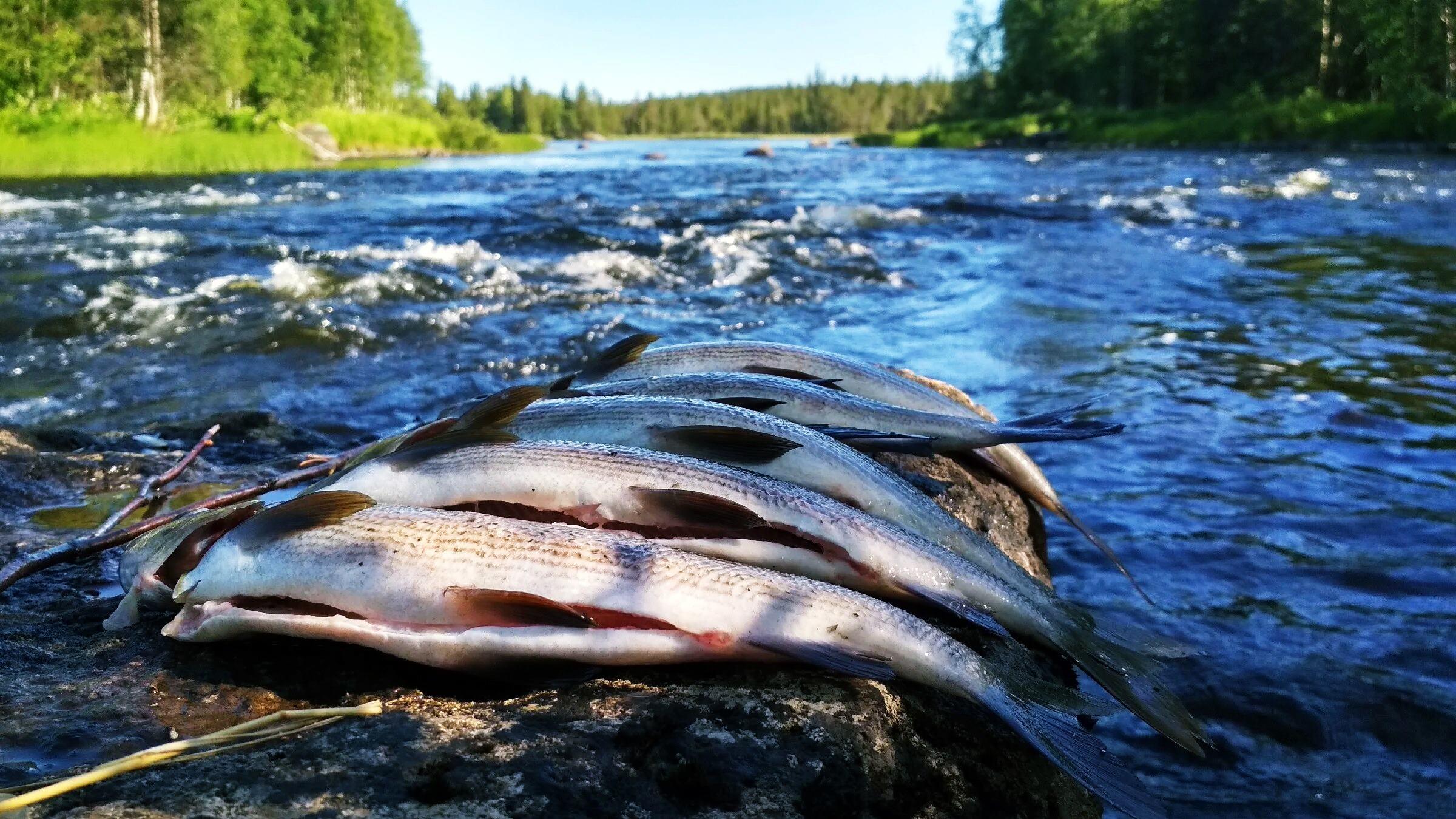 Описание рыбы, которая водится в озерах Карелии