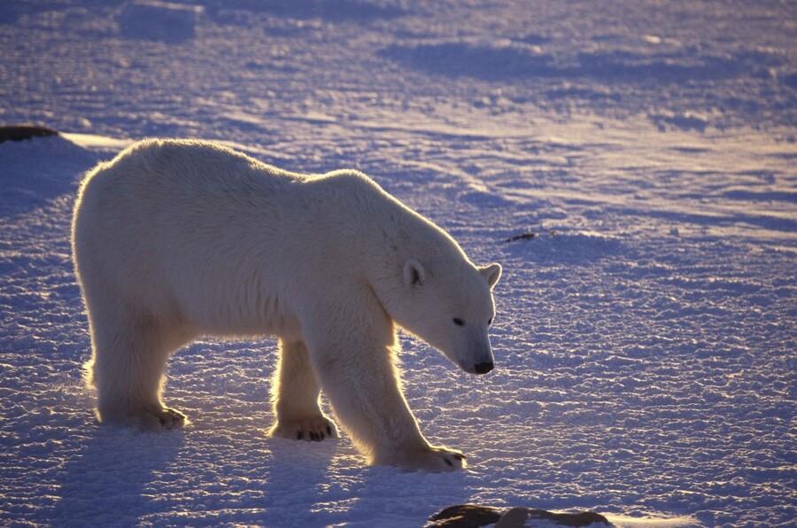 Образ жизни белого медведя