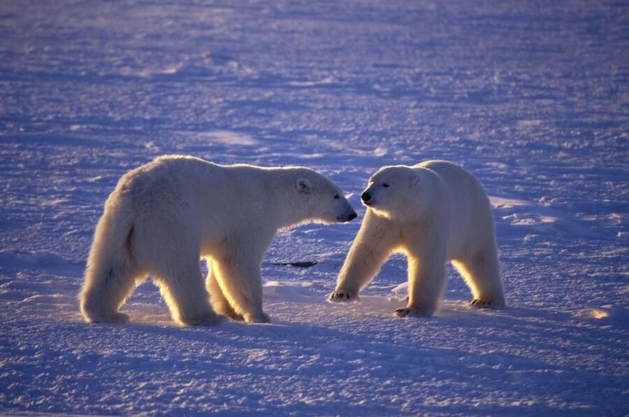 Уникальные факты о белом медведе