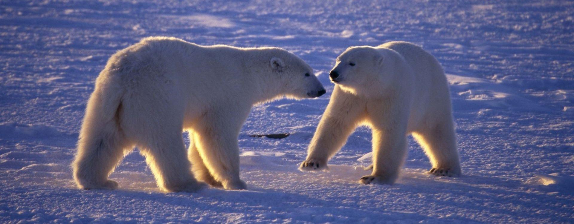 Белые медведи в Арктике: как живет супер хищник Севера