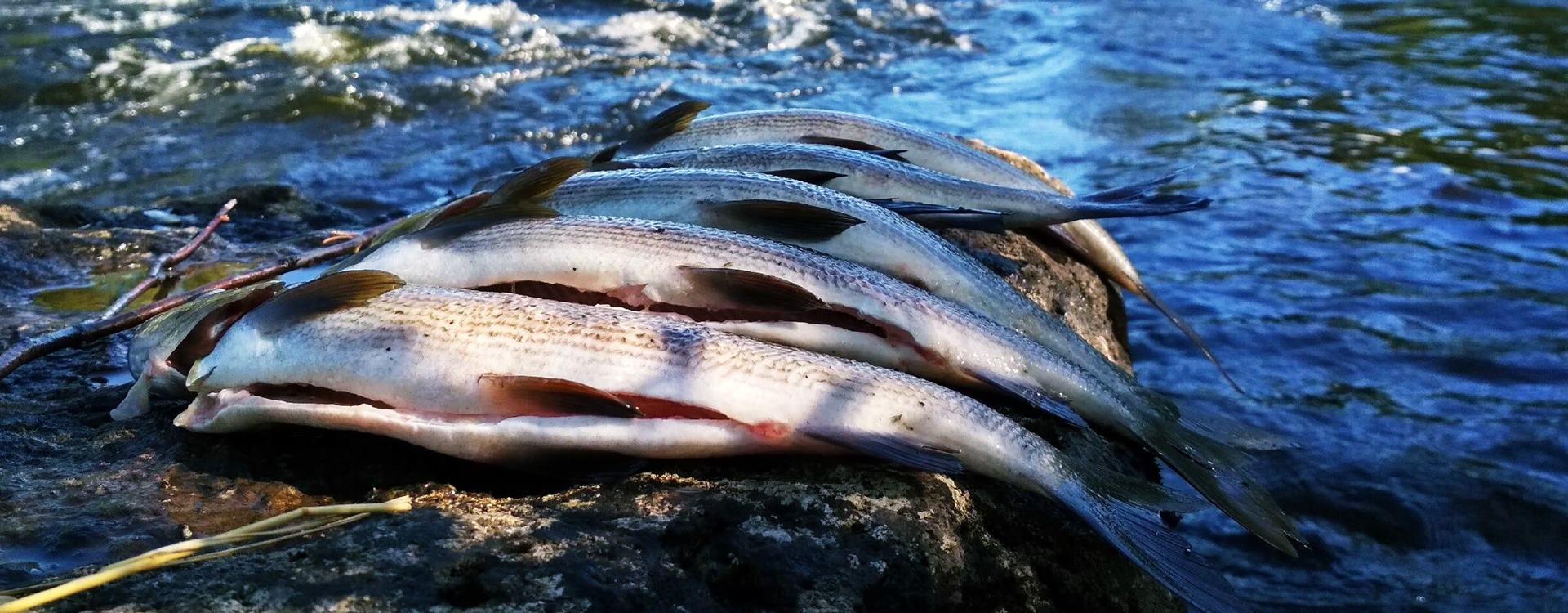 Какая рыба водится в озерах Карелии