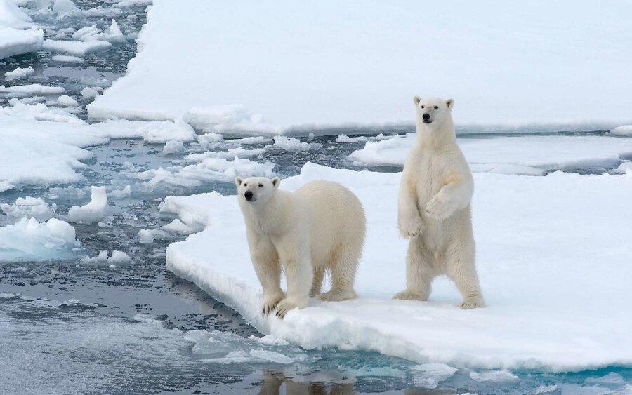 Где в Арктике можно увидеть белого медведя